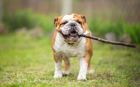 fetch: Playing fetch with stick - English Bulldog