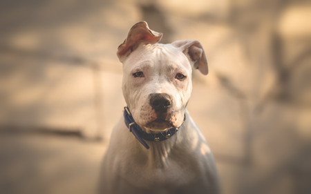 Completely white American Staffordshire terrier puppy portrait Stock Photo