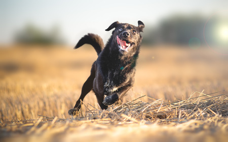Insanely happy dog running Stock Photo - 62967347