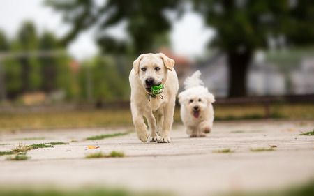 fetching: Two dogs playing with ball