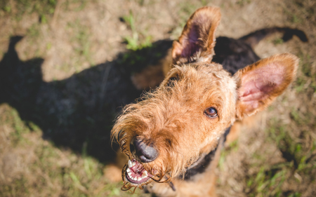Airedale terrier dog looking up