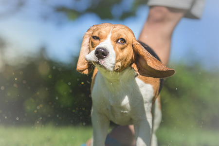 beagle terrier: Portrait of Beagle dog After Bath Time Stock Photo