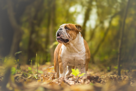 English Bulldog at the forest
