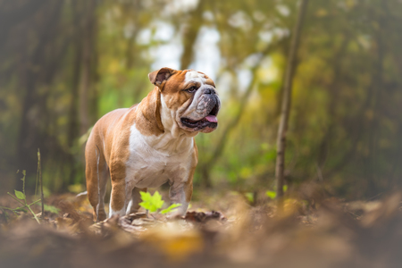 English Bulldog Dog at the forest Stock Photo