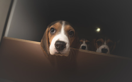 curious: Three curious beagle puppies