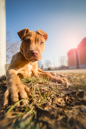 pit fall: Cute American pit bull terrier pup Stock Photo