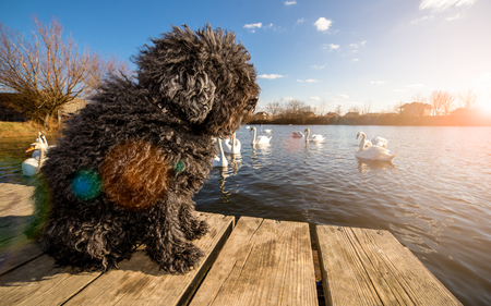 corded: Hungarian Puli dog on the dock