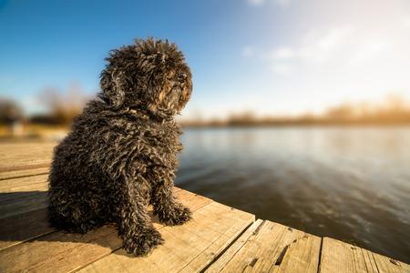 Hungarian Puli dog sitting on the dock