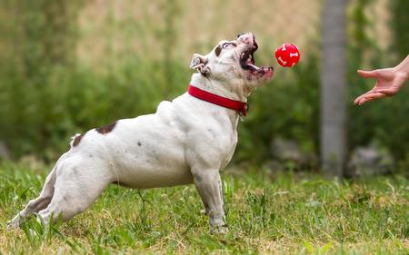 Playing fetch with English Bulldog dog Stock Photo