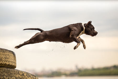 American Staffordshire Terrier in jump Stock Photo