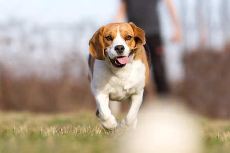 Playing fetch with Beagle Dog Stock Photo