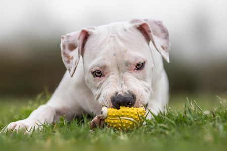 Completely white american staffordshire terrier