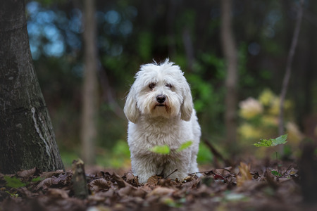 Coton de Tulear dog in the wood Stock Photo