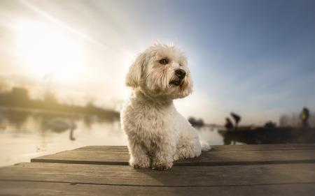 Coton de Tulear-Porträthund auf Dock