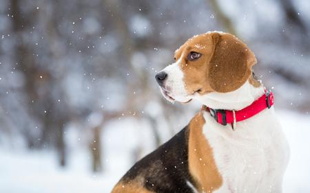 Beagle dog winter portrit background Standard-Bild