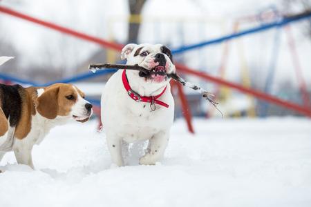 English Bulldog and Beagle dog playing with stick on winter day Standard-Bild