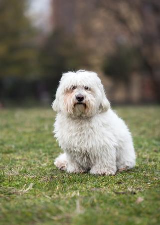 Coton de Tulear dog sitting on the grass