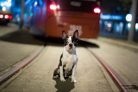 Lost dog at night on the street - Boston Terrier