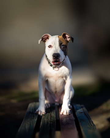 Portrait of small American Staffordshire terrier dog