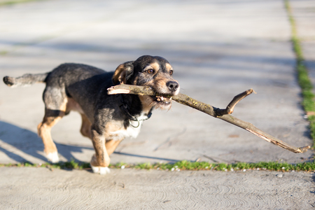 Small mixed breed dog running with stick in mouth