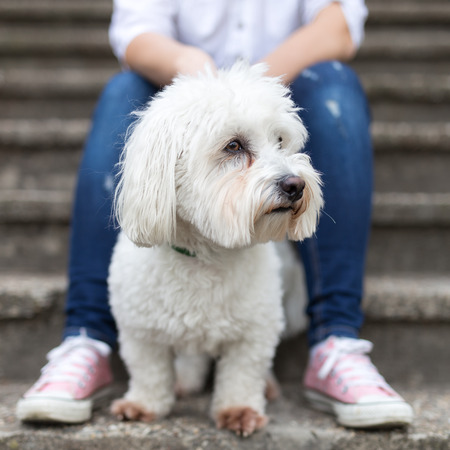 White fluffy dog sitting next to his owner - Coton de Tulear