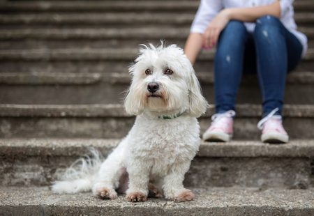 Coton de Tulear Dog sitting on stairs