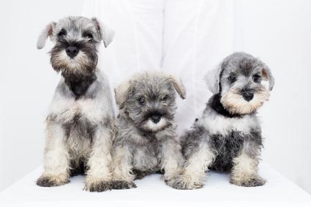 Three adorable schnauzer puppies on white background