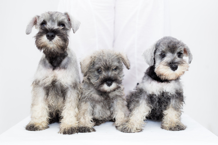 Three adorable schnauzer puppies on white background