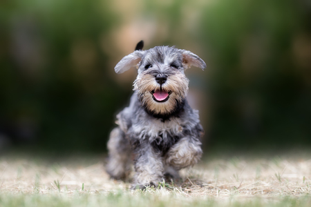 Miniature puppy Schnauzer at Play Standard-Bild