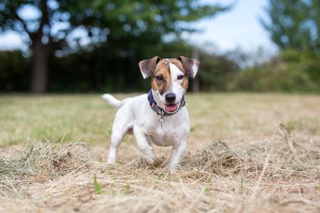 Cute Jack Russell terrier dog in backyard