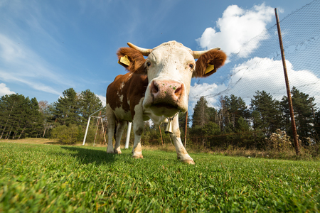 Cow on a meadow during summer day