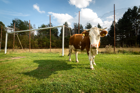 Cow on a village football pitch