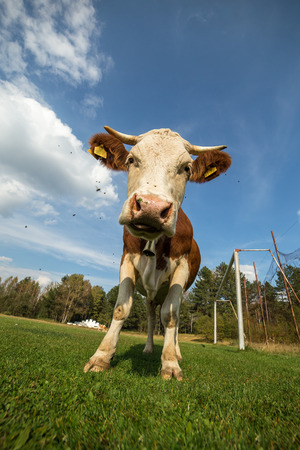 Vertical photo of white brown cow Stock Photo