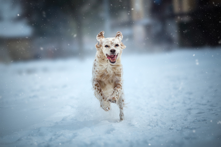 Happy dog running on snowy winter day