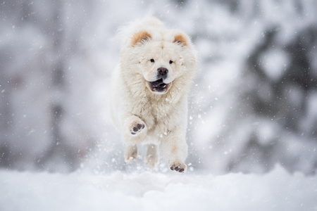 Chow Chow Running on winter snowy day