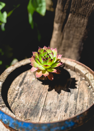 Sempervivum, Single Houseleek in garden Stock Photo
