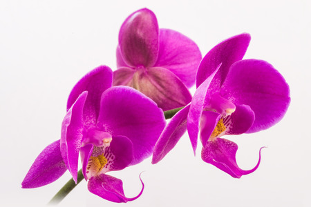 Phalaenopsis. photo