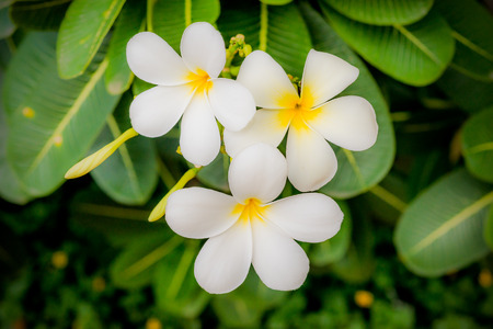 asterids: India. Flowers. Stock Photo