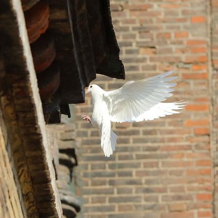 dove at Sophia Church in Harbin