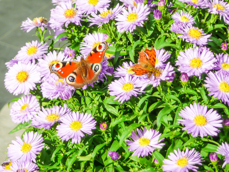 Butterflies feeding from aster flowers