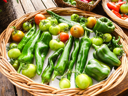 unripened: Variety of homegrown tomatoes and capsicum grown in a greenhouse, Belgium