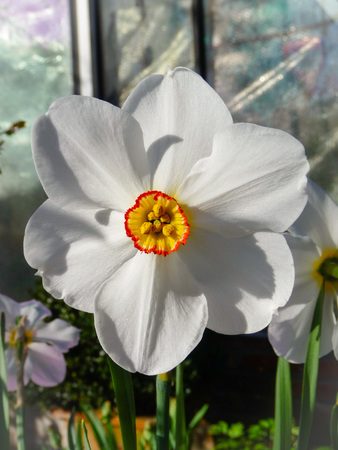 Vibrant narcissus poeticus with a ring of white petals and a short corona in yellow with bright red edges, Belgium