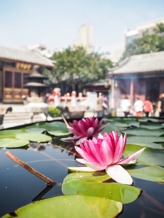 Two vibrant pink water lilies in a massive water reservoir in the courtyard of the Temple of the Queen of Heaven, Tianjin, China