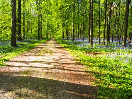 A broad path leading through vibrant purple bluebell woodland, Hallerbos, Belgium Stock Photo