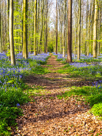 A straight path leading through a vibrant blue and purple carpet of bluebells during spring in the forest, Hallerbos, Belgium