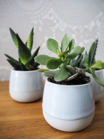 Three different evergreen houseplants (aloe vera and jade plant) in small pots on a wooden bench Stock Photo