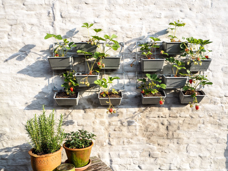 Rows of strawberry plants with ripe and unripe berries in a vertical garden hanging on a wall in a small patio Standard-Bild - 102230065