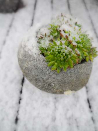 Sempervivum succulent in a pot covered in snow Stock Photo