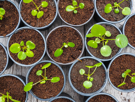 Multiple propagated pancake plant cuttings in black plastic gardening pots on a wooden table Imagens