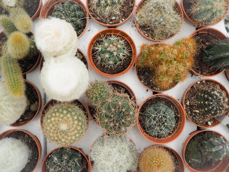 Assortment of different small cactus plants in plastic pots on a white loading tray